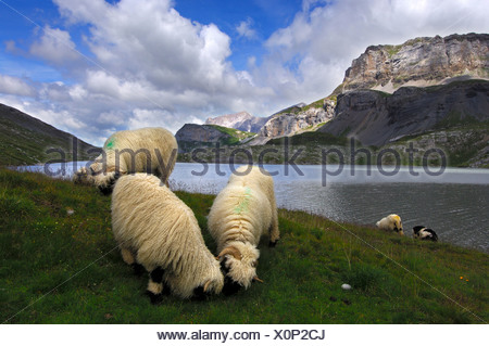 Sheep of the Valais Blacknose breed grazing on an alpine pasture along the shore of a mountain lake, Valais, Switzerland, Europe - Stock Photo