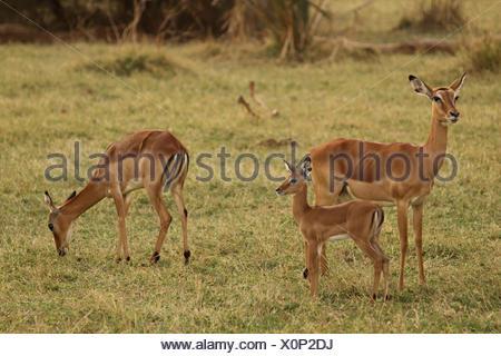 impala (Aepyceros melampus), two antelopes with young animal in a meadow, Kenya, Samburu National Reserve - Stock Photo