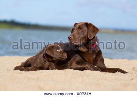2 Labrador Retriever - Stock Photo