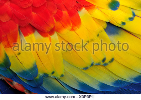 Macaw, parrots, Central America, Honduras, feathers, colours, concepts, - Stock Photo