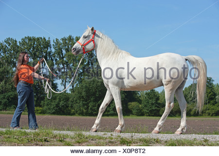 Tiger Horse with woman - rein-back - Stock Photo