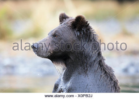 Grizzly bear (Ursus arctos horribilis), female, Chilcotin Region, British Columbia, Canada. - Stock Photo
