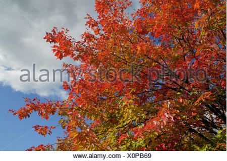 Acer rubrum, Red maple, autumn leaves - Stock Photo