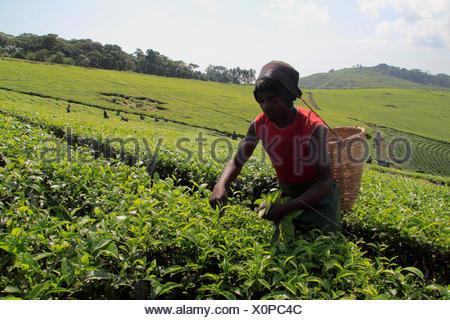tea plant (Camellia sinensis, Thea sinensis), man picking tea leaves, Uganda, Kibale Forest National Park - Stock Photo