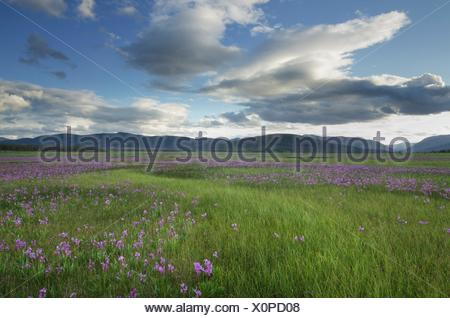 Shooting Star (Dodecatheon conjugens) wildflowers blooming in Elk Meadows, Salmon-Challis National Forest Idaho. - Stock Photo