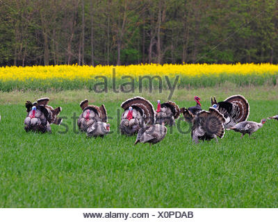 Truthuhn, Truthahn (Meleagris gallopavo), freilebendeTruthahngruppe in der Balz, Oesterreich, Burgenland | common turkey (Meleag - Stock Photo