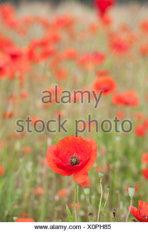 ENGLAND; NORFOLK; POPPY; FIELD; RED; FLOWER; POPPIES; FLOWERS; DETAIL - Stock Photo