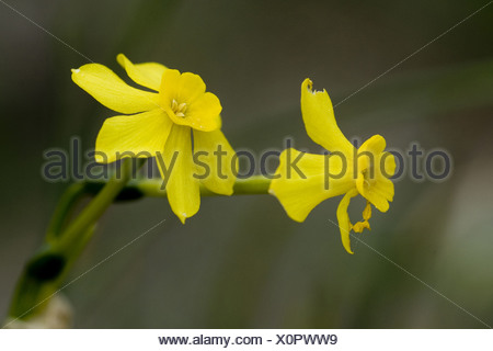 jonquil, narcissus jonquilla - Stock Photo