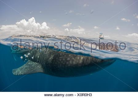 Whale shark feeding on the water surface, boat on horizon, Isla Mujeres, Mexico - Stock Photo
