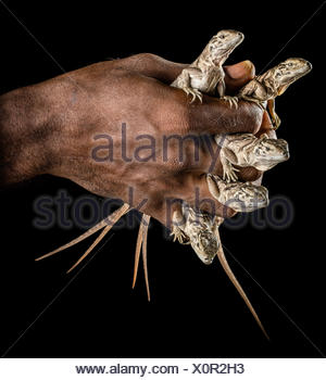 A man holds critically endangered Jamaican iguana, Cyclura collei, hatchlings in his hand. - Stock Photo