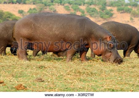 A herd of hippopotamuses Hippopotamus amphibius, grazing on the bank of the Chobe River, Chobe National Park, Botswana - Stock Photo