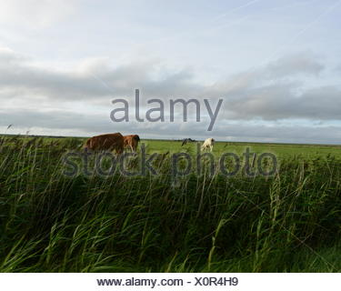 Cows Grazing In Grassy Field Against Cloudy Sky - Stock Photo