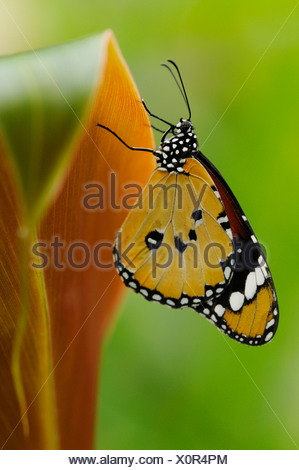 Monarch butterfly Danaus plexippus on Canna plant leaf with wings closed and underside visible. - Stock Photo