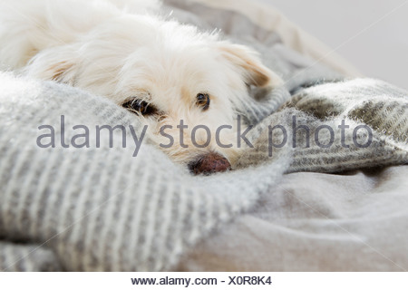 Dog laying on bed - Stock Photo