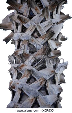 Turkey, Alanya, Date palm (Phoenix dactylifera), close up - Stock Photo