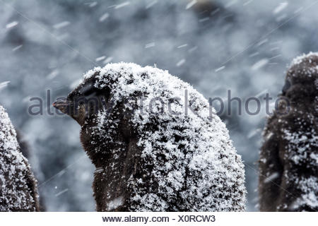 A fluffy Adelie Penguin chick covered in snow during a snow storm in Antarctica. - Stock Photo