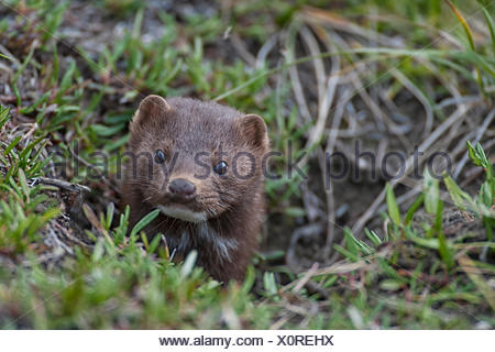 Pine martens are found in abundance throughout the watershed. This fellow chased a ground squirrel throughout our campsite, before hiding from us down a ground squirrel hole. Martens primarily feed on small animals like squirrels, birds and mice. - Stock Photo