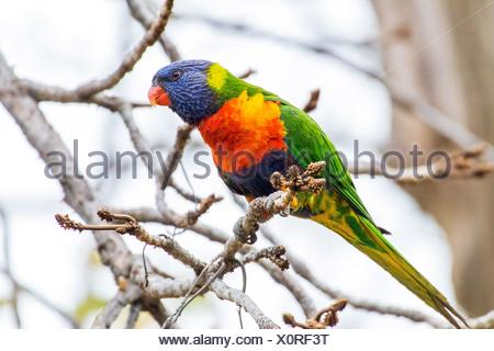 Rainbow lorikeet - Stock Photo