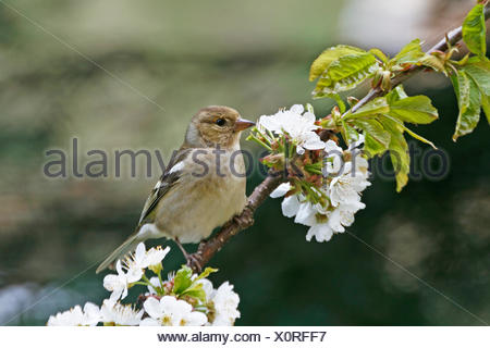 chaffinch in cherrywood - Stock Photo
