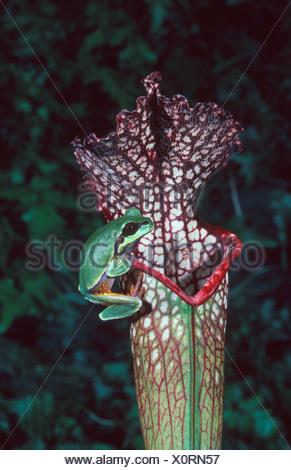 USA, Florida, Pine Barren Tree Frog (Hyla andersoni) on Pitcher Plant (Sarracenia leucophylla) - Stock Photo