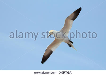 Morus bassanus - Stock Photo