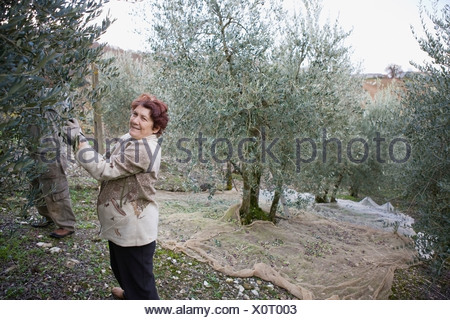 Old people harvesting olives - Stock Photo