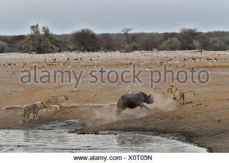 This Black Rhino has stumbled into a cavity and tipped into the water point. After many difficulties given the sheer submerged - Stock Photo