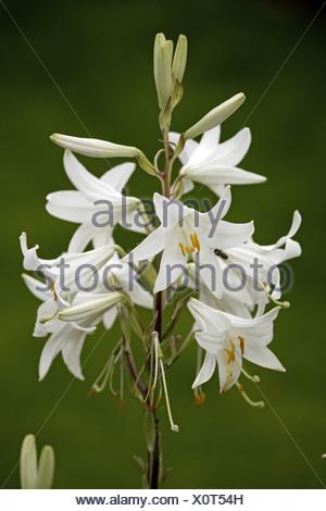 Madonna Lily Lilium candidum close-up flowers - Stock Photo