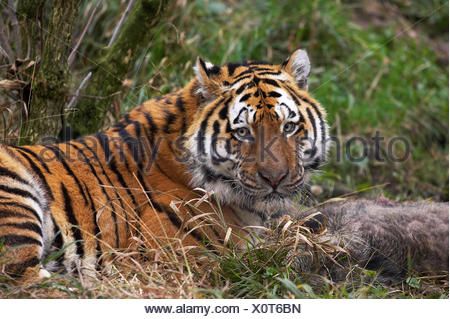 Siberian Tiger, panthera tigris altaica, with a Kill, a Wild Boar - Stock Photo