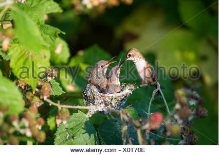 Two baby humming (selasphorus rufus) birds in their nest.They are almost ready to leave the nest.Steveston, British Columbia - Stock Photo