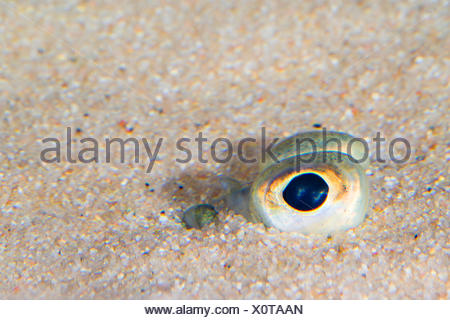 plaice, European plaice (Pleuronectes platessa), dug in the sand only the eyes can be seen - Stock Photo