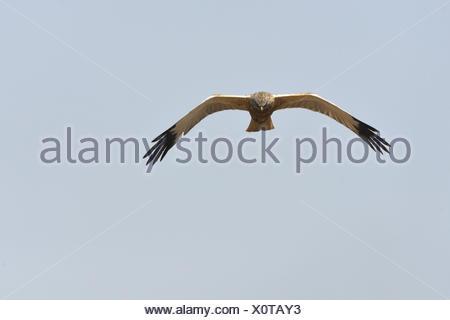 Western Marsh Harriers - Stock Photo