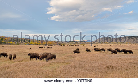Bison herd (Bison bison), Elk Ranch Flats, Grand Teton National Park, Wyoming, USA - Stock Photo