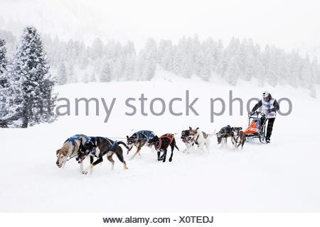 Alpine Trail Sled Dog Race 2013, Eurohounds, Prato Piazza alpine meadow, Fanes-Sennes-Prags Nature Park, Prags, Dolomites - Stock Photo