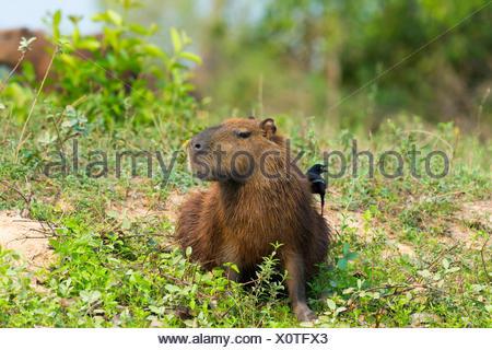Capybara (Hydrochaeris hydrochaeris) Black-capped Donacobius (Donacobius atricapilla) on back Pantanal Mato Grosso Brazil - Stock Photo