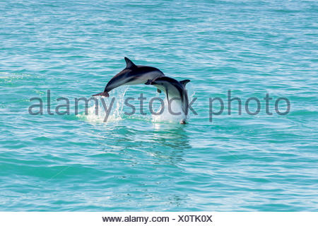 Two Hector's Dolphins (Cephalorhynchus hectori) meeting in the air while jumping out of the water, Ferniehurst - Stock Photo