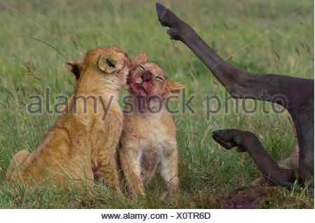 African lion (Panthera leo) two cubs licking blood off their faces after feeding on Wildebeest carcass,  Masai Mara reserve, Kenya - Stock Photo