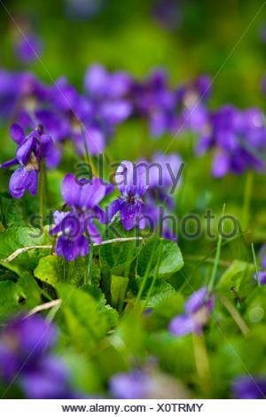 Viola odorata, Violet, Sweet violet, Blue. - Stock Photo