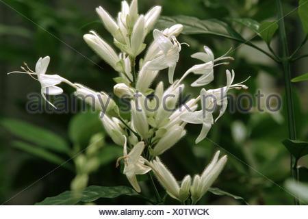 White candles (Whitfieldia elongata), inflorescence - Stock Photo