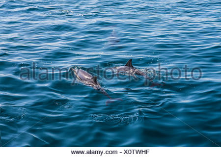 Long-beaked Common Dolphins (Delphinus capensis), dolphin watching, open sea, Atlantic Ocean, Lagos, Algarve, Portugal, Europe - Stock Photo