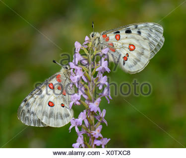 Apollo Butterflies (Parnassius apollo), two butterflies resting on a Short-spurred Fragrant Orchid (Gymnadenia odoratissima) - Stock Photo
