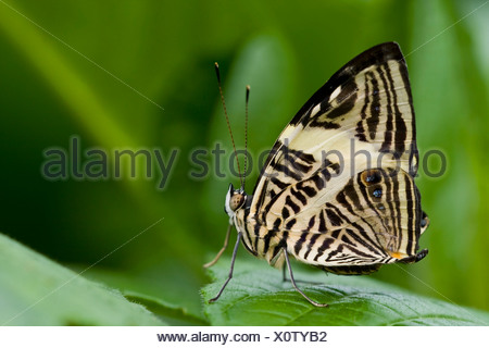 Zebra Mosaic butterfly (Colobura dirce) perching on a leaf - Stock Photo