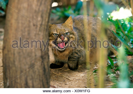 Pampas Cat snarling (Felis colocolo) - Stock Photo