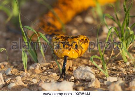 Cape Cobra (Naja nivea), sticking out tongue, during the rainy season in green grass, Kalahari Desert - Stock Photo