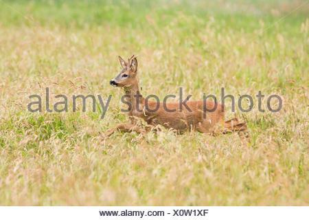 roe deer (Capreolus capreolus), roe buck jums through high grass, Germany, Bavaria - Stock Photo