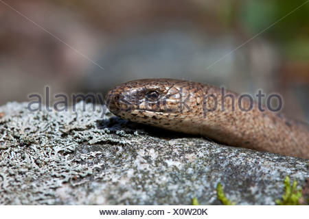 Close-up side shot of a slow worm on stone against blurred background - Stock Photo