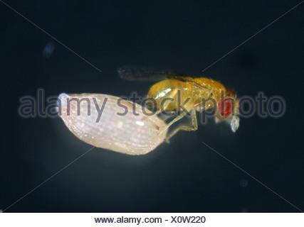 Parasitoid wasp Trichogramma sp with angoumois grain moth egg - Stock Photo