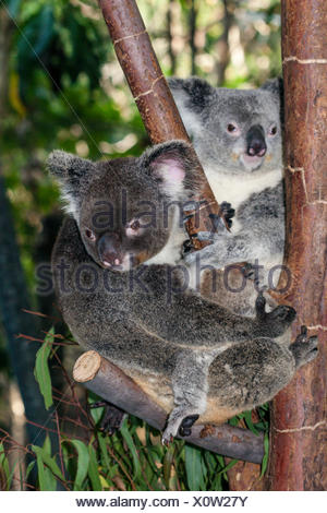 Koala, Phascolarctos cinereus, Queensland, Australia - Stock Photo
