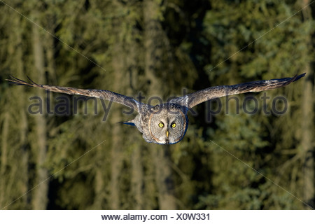 Hunting great gray owl (Strix nebulosa), boreal forest, northern Alberta, Canada - Stock Photo