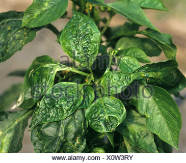 Cucumber mosaic virus CMV distortion of the leaves of a sweet pepper plant Portugal - Stock Photo